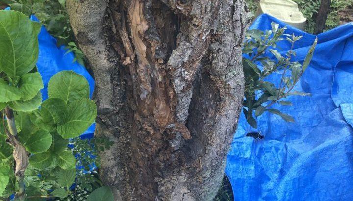 ヤマモモの伐採